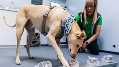 La fórmula de Finlandia para luchas contra el coronavirus: perros que detectan el virus en 10 segundos