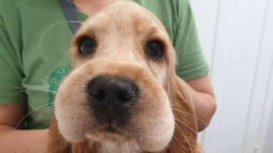 Llevan al veterinario a un perro que confundió un panal de abejas con comida y estas son las consecuencias