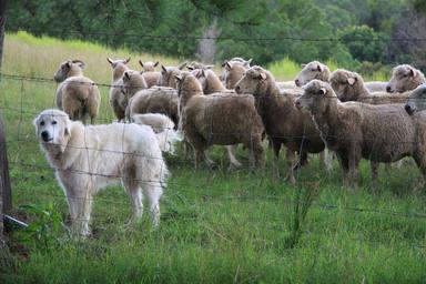 Un perro pastor defiende a un rebaño de ovejas de un lobo y esta es su emotiva reacción