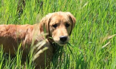 ¿Por qué motivo comen hierba los perros?