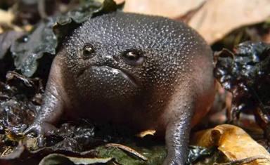 Así es la extraña rana que se ha hecho viral por parecer un aguacate enfadado