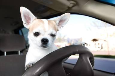 Pillan a un perro que conducía a 175 km/h y la explicación del dueño deja en shock a la policía