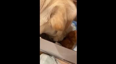 Un perro enorme mete la cabeza en una caja llena de gatitos y ocurre algo inesperado