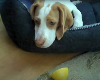 Un perrito juega por primera vez con un limón y lo que pasa después deja a todos sin palabras